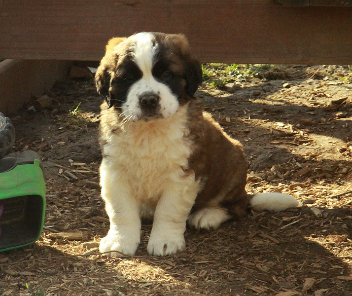 Saint Bernard puppy for sale posing so sweetly! : Puppies ...