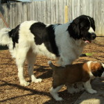 Saint Bernard puppy with our 9 month old Newfoundland dog