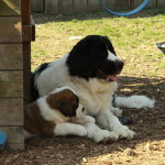 Saint Bernard puppy with our Newfoundland dog Dakota