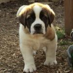 Teddy – A Saint Bernard Puppy We Had Called 'Meatball'!
