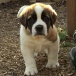 Teddy – A Saint Bernard Puppy We Had Called 'Meatball'!