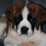 Kelsie, a Stunning Saint Bernard Puppy!