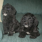 Beautiful black goldendoodle puppies for sale