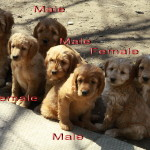 Adorable litter of labradoodle puppies