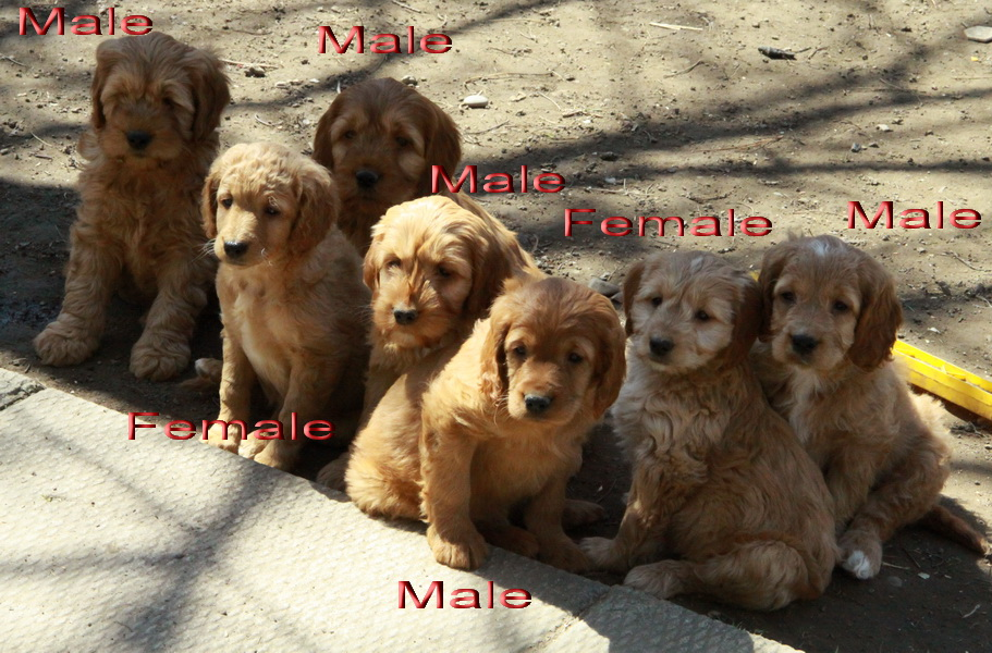 Male Chocolate Labradoodle Names