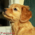 Very cute labradoodle puppies for sale