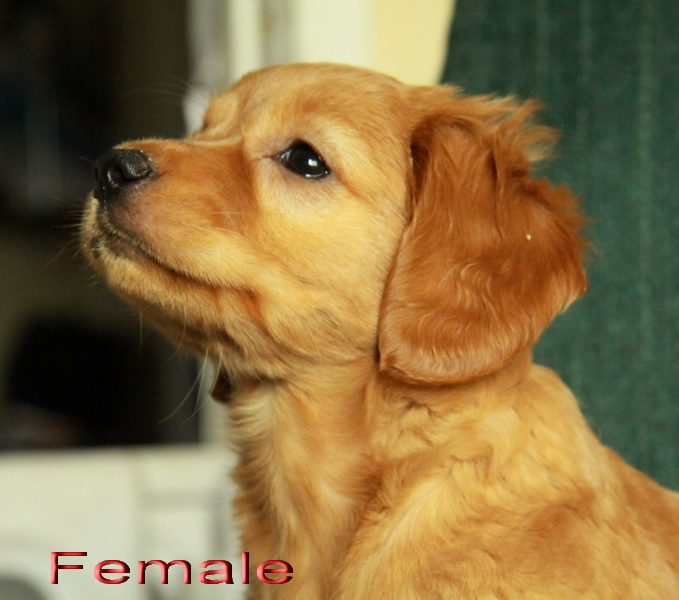 Labradoodle and Goldendoodle Puppies For Sale ! : Puppies for Sale