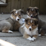 Shetland Sheepdog (Sheltie) Puppies For Sale
