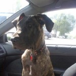 Stella – Stunning Great Dane!
