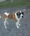 Buffy, a gorgeous Saint Bernard!