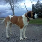 Buffy Saint Bernard 08