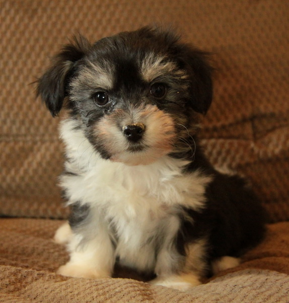 Toy/Hypoallergenic Puppies For Sale Waiting List