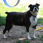 Buster is a Boston Terrier x Beagle Mix
