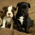 Purebred Boston Terrier and Boston Terrier Cross Puppies