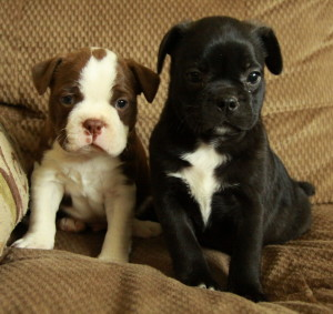 Pure Boston And Bugg Puppies Boston Terrier X Pug Puppies For