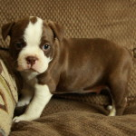 Pure Boston Terrier Puppy For Sale