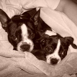 Pure Boston Terrier with a Boston Terrier x Beagle Puppy