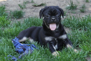 Boston Terrier X Pug Puppies For Sale Dogs For Sale In Ontario