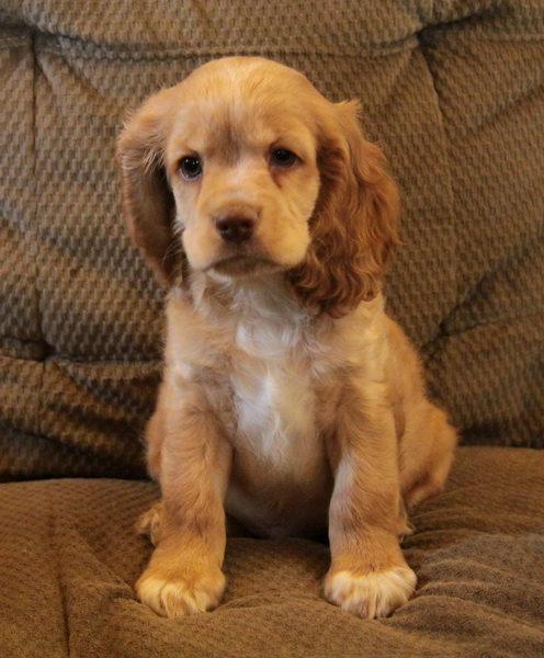 CockerSpaniel pup