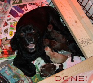 Georgia Giving Birth To Cocker Spaniel Puppies