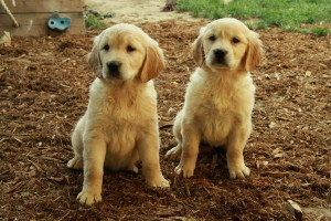 Golden Retriever Puppies For Sale Waiting List