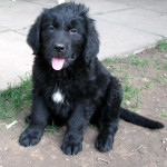 Newfie x Golden Retriever Puppies Waiting List
