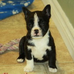 Black and white Boston Terrier puppy