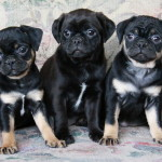 Boston Terrier x Pug puppies for sale