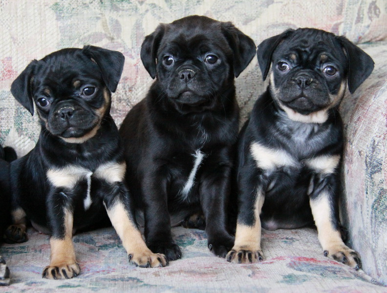 Boston Terrier X Pug Puppies For Sale Puppies For Sale Dogs