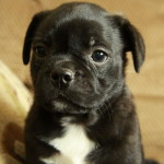 Boston Terrier x Pug Puppy (Bugg-Meatball)
