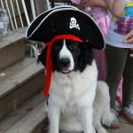 Dakota, our Landseer Newfoundland dog on her first birthday