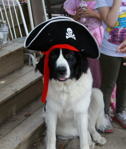 Dakota our Landseer Newfoundland Dog's first birthday, dressed up as a pirate