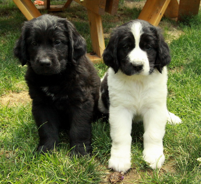 whiteblack newfoundland puppies for sale puppies for