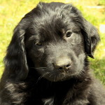 Available Newfoundland puppies for sale