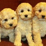 Curly Hair Cockapoo Puppies