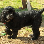 Purebred Cocker Spaniel Adult