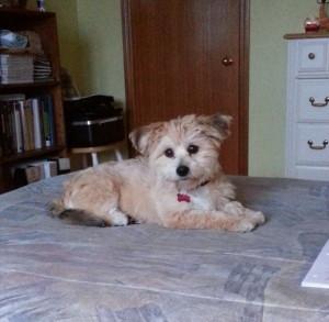 yorkie bichon puppy Maggie