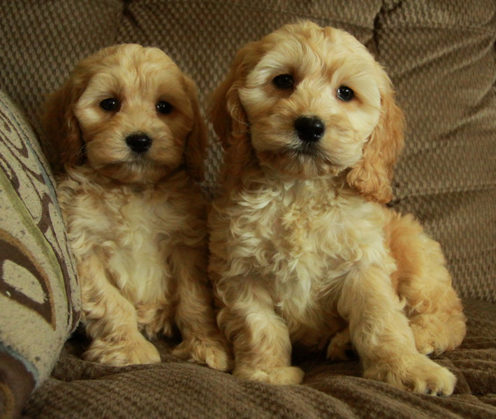 apricot cockapoo puppies : Puppies for Sale : Dogs for sale