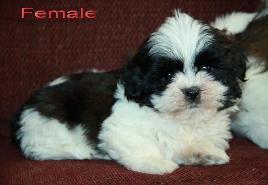 Shih Tzu Puppies Black And White | www.imgkid.com - The ...