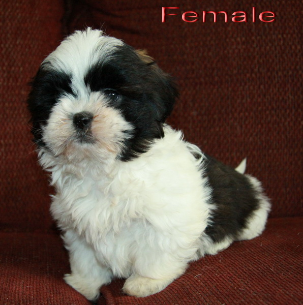 Shih Tzu Puppies Black And White | www.imgkid.com - The ...