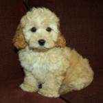Apricot/Cream Cockapoo Puppy