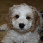 About Cockapoo Puppies