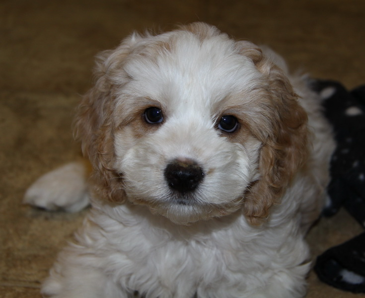 About Cockapoo Puppies | Curious Puppies