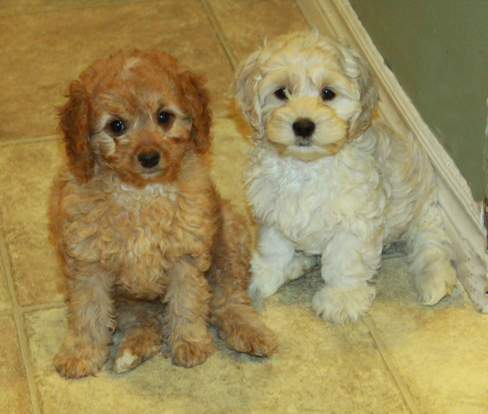 cockapoo puppies red and blond : Puppies for Sale : Dogs for sale in ...
