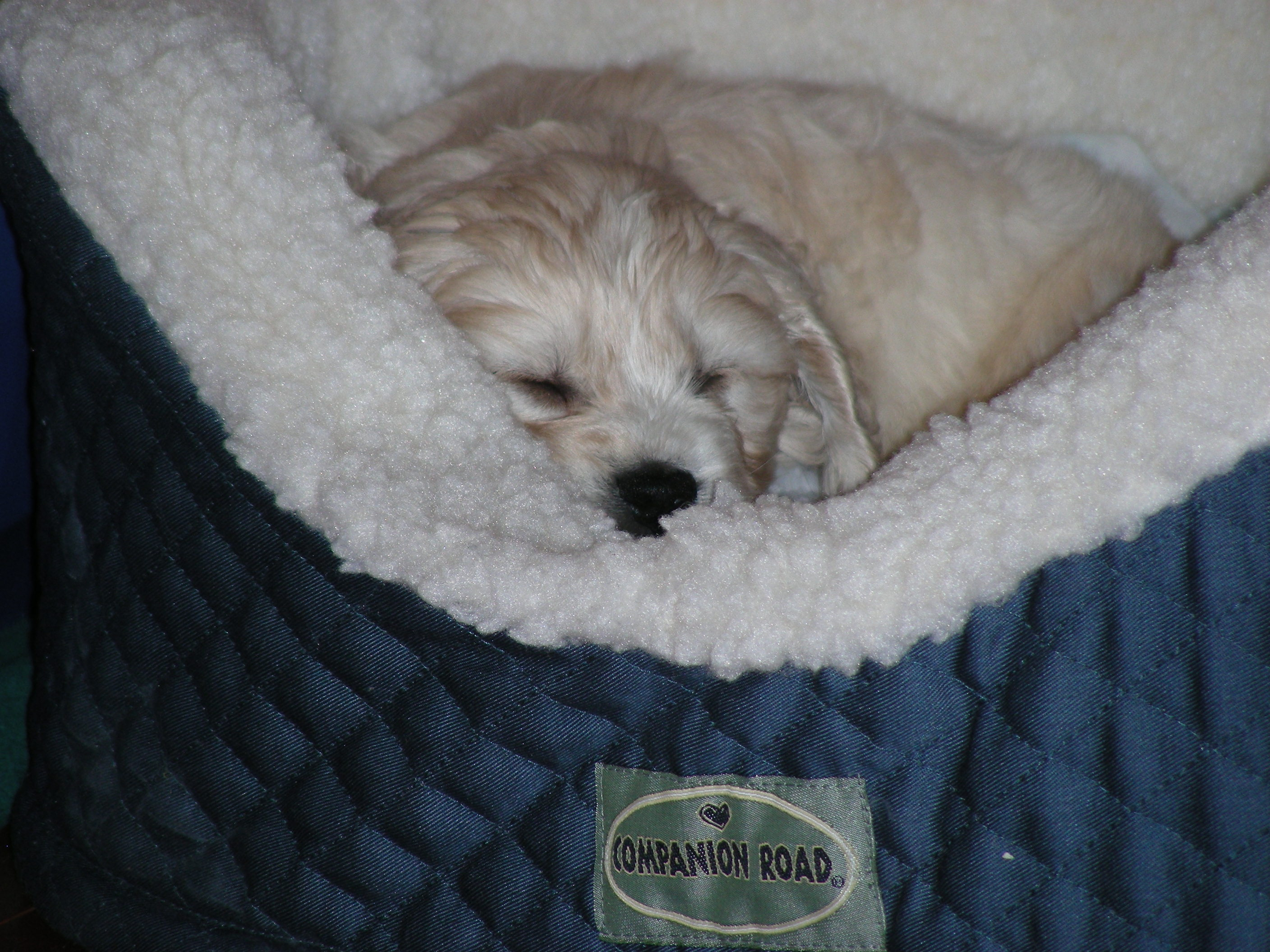 cute sleeping cockapoo : puppies for sale : dogs for sale in ontario