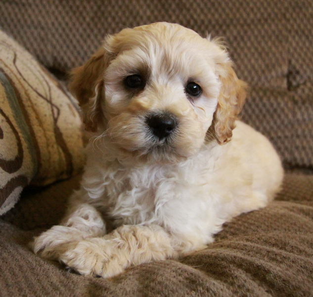 gorgeous cockapoo puppy : Puppies for Sale : Dogs for sale ...