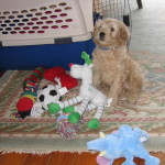 Cockapoo puppy and new toys
