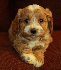 Love The Red And White Colour Cockapoo Puppies For Sale