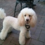 Mini Poodle Adult