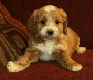 Gorgeous cockapoo puppies